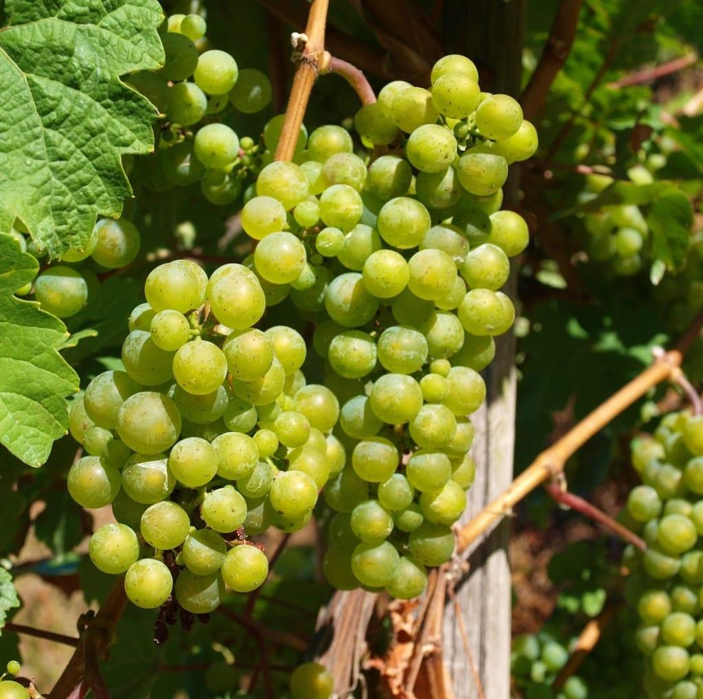 druiven wijn moezel