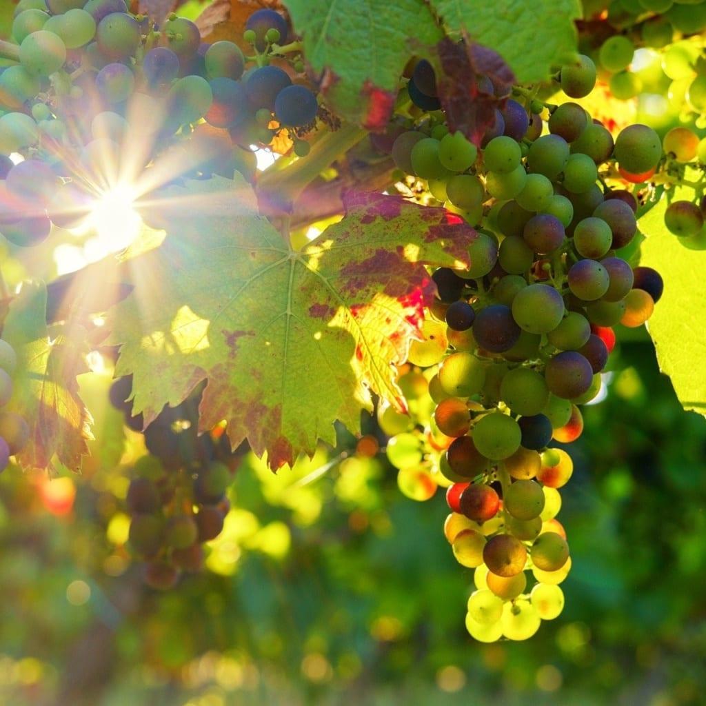 druiven met zon moezel