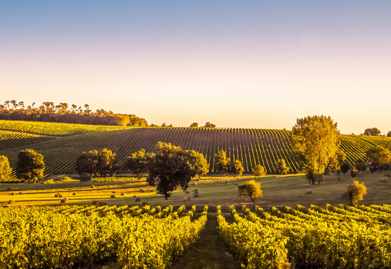 Bordeaux-wijngaard